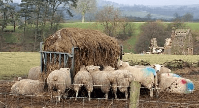 Selecting sheep and goat feed
