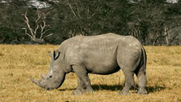 Thermal-Imaging Cameras Help Protect Endangered Rhinos in Africa