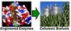 Making Biofuels Cheaper Through Genetically-enhanced Enzymes